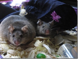 The mouse on the left has MSG induced obesity.